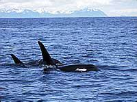 Orca Whale Attacks Fishing Boat In Alaska by Killer Whale Orcinus Orca