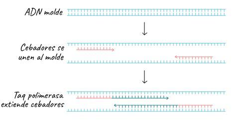 bureau de la pcr reacción en cadena de la polimerasa pcr khan