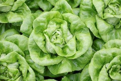 vegetable butterhead lettuce tahamata rz