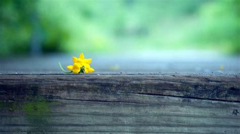 macro yellow flower blur hd photography  wallpapers