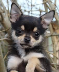 Google Search Chihuahua Puppies
