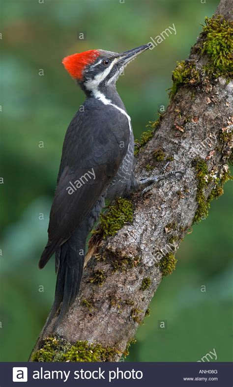 pileated woodpecker vancouver island british columbia