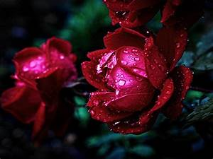 Water Drops Rose Red   Wallpapers13 Com