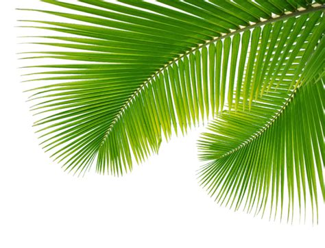 bay leaves pattern palm leaf leaves png 43070 free icons and png backgrounds