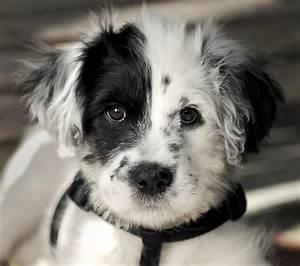 Top 12 des plus beaux (et étonnants) chiens croisés Dalmatien