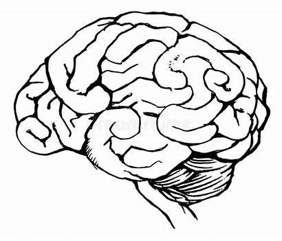 Brain Human Sketch Drawing Gehirn Menselijke Menschliches