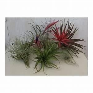 KIT 5 PIANTE DI TILLANDSIA pianta dell' aria antismog pianta tillan