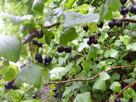 schwarze johannisbeere krankheiten schwarze johannisbeere titania pflanze nutzpflanzen