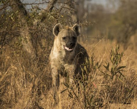 spotted hyena facts diet habitat pictures