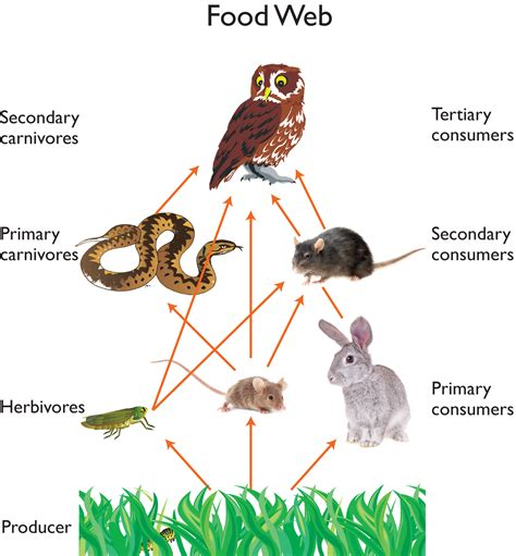 web cuisine food chain on food chains food webs and food