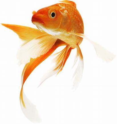 Goldfish Clipground