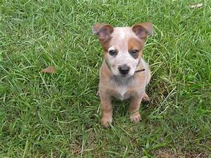 red heeler puppy | Australian Cattle Dogs | Pinterest ...