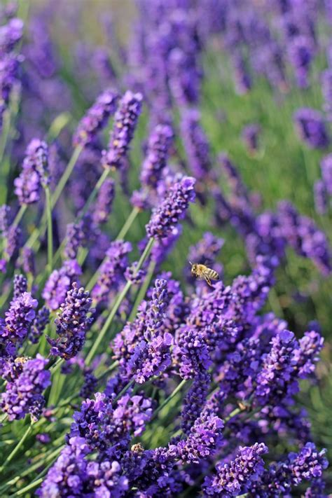 lavender and mosquitoes lavande fleurs et jardins pinterest lavender mosquitoes and repel mosquitos