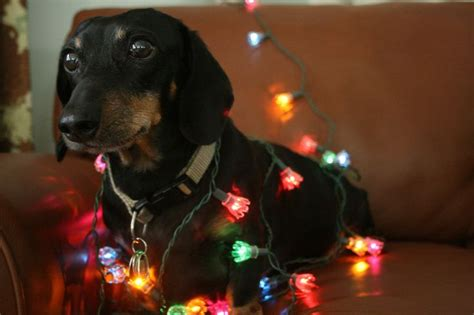 17 best images about dogs wrapped in christmas lights on