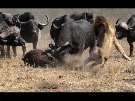 National Geographic Animals  How Buffalo Escapes From