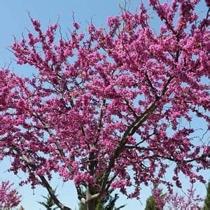 flowering trees northeast best spring flowering trees to plant in northeast ohio independent tree