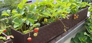 Erdbeeren Pflege Balkon : balkonpflanzen pflegeleichte sorten f r sonnige und ~ Lizthompson.info Haus und Dekorationen