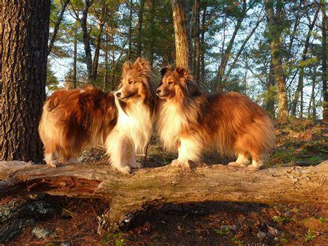 shetland sheepdog  doggy rocks
