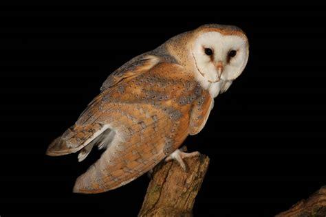 barn owl animal wildlife