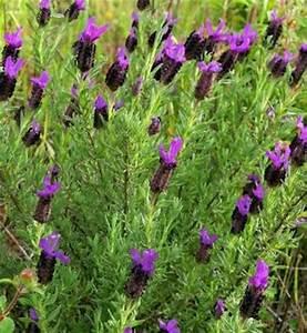 Lavendel Schneiden Im Herbst : schopf lavendel papillon lavandula stoechas von nr 01 ~ Lizthompson.info Haus und Dekorationen