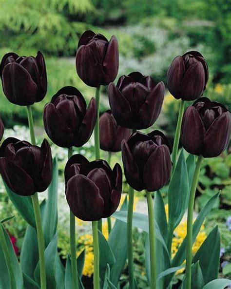 garden bulbs 6 tulips queen of the night gardening bulb beautiful spring flower perennial new ebay