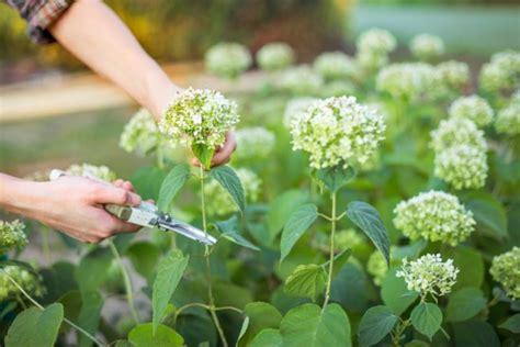 Hortensien Schneiden Wann Und Wie by Hortensien 187 Pflanzen Pflegen Schneiden Und Mehr