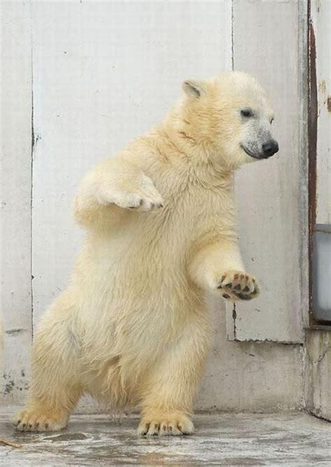 funny dance   polar bear  pics izismilecom