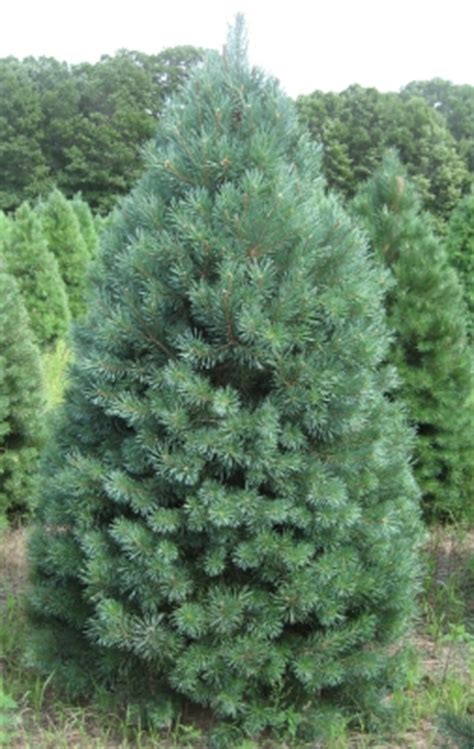 what type of christmas tree lasts the longest tree varieties available tree types
