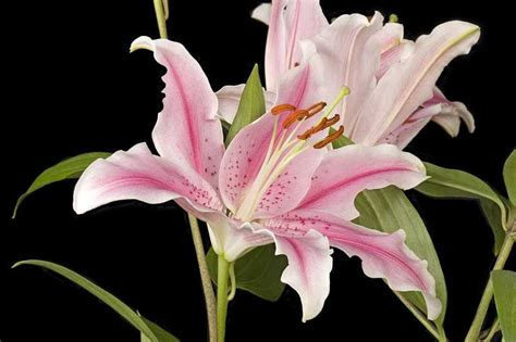 lilly flowr romantic flowers lily flower