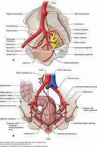 A  Branches Of The Internal Iliac Artery  B  Arteries Of