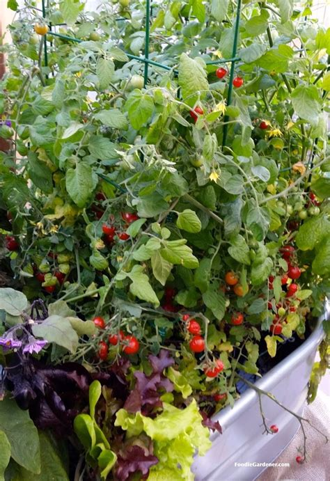 Cherry Tomatoes Growing In Metal Trough With Salad Greens