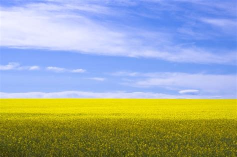 photo canola field yellow agriculture