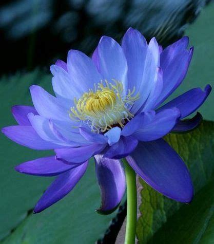 Lotus Flower: Purity, Beauty, Spiritual Awakening ...