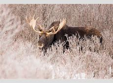 Alces alces Moose pgcps mess Reform Sasscer without