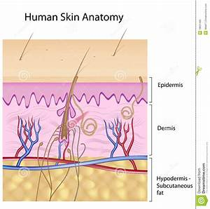 Human Skin Anatomy, Non-labeled Version Royalty Free Stock ...