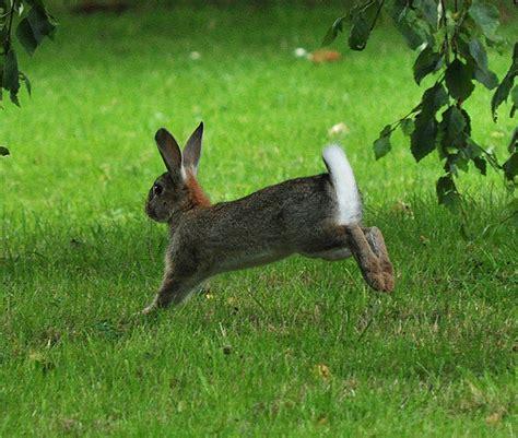 hopping bunny rabbit hopping flickr photo