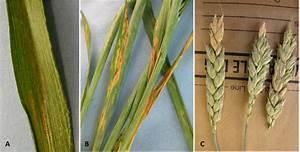 Foliar Diseases Of Wheat And Fusarium Head Blight  Scab