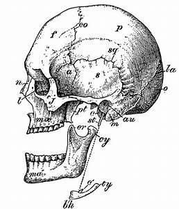 6 Skull Images - Vintage Anatomy Clip Art - Bones