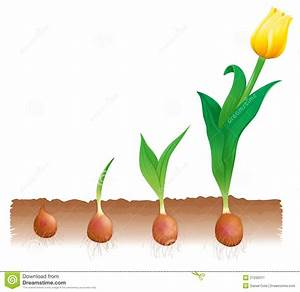 Tulip Growth Stock Illustration  Illustration Of Part