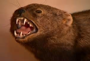 fisher cat images sound a fisher cat makes and cats gallery