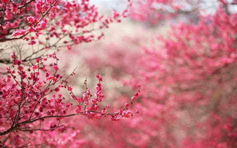 Cherry Blossom Image by Cherry Blossoms Hd Wallpapers Hd Wallpapers