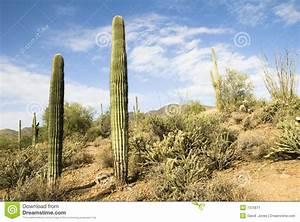 Blumenarten Az Mit Bild : wandernde spur der arizona w ste mit kakteen stockbild bild 7375671 ~ Whattoseeinmadrid.com Haus und Dekorationen