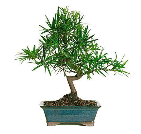 podocarpus bonsai tree  sale