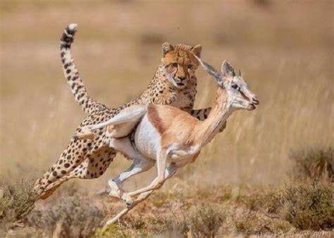 pregon agropecuario los guepardos usan mas la astucia