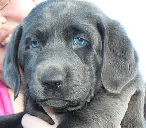 Labrador Silver Lab Puppies