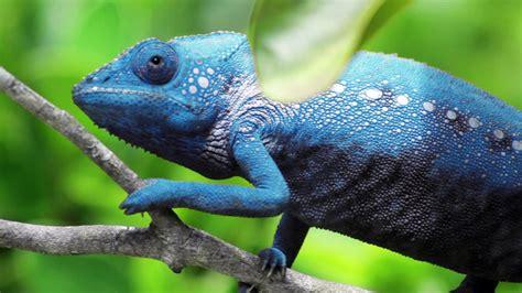 chameleon change color chameleon changing color doovi