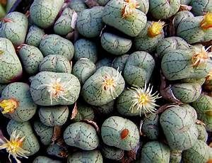 Conophytum uvaeforme - stone plant seeds