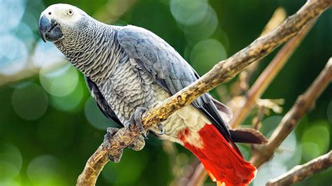African Grey Parrot Wallpapers Backgrounds