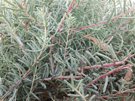 Suaeda fruticosa - Forestrypedia