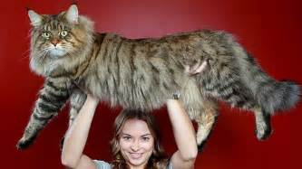 largest house cat this mega cat may become the cat in the